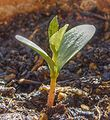 Apple seedling idared HDR.jpg