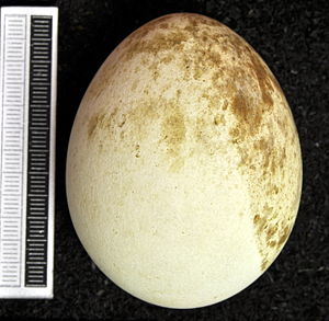 Greater spotted eagle - Egg, Collection Museum Wiesbaden
