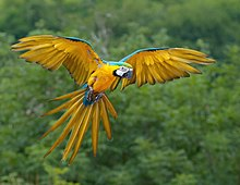 A parrot with outstretched wings shows yellow colouring on the underside of the body, wings and tail