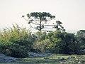 Araucaria angustifolia en Uruguay.jpg