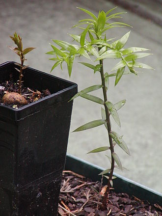 Araucaria bidwillii - A pair of bunya seedlings showing the change in leaf colour. The cotyledons are hypogeal, remaining below the ground.