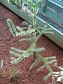 Araucaria montana 01 by Line1.JPG