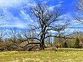 Arbutus Oak wide view.jpg