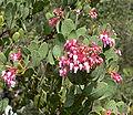 Arctostaphylos pringlei ssp drupacea 2.jpg