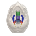 Areas of Lateral ventricle - 06.png