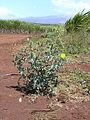 Argemone.mexicana001.jpg