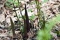 Arisaema triphyllum 21zz.jpg