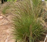 Aristida purpurea form