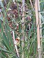 Aristolochia californica (16251588607).jpg