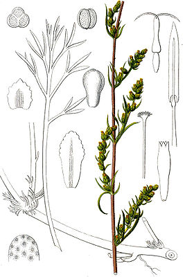 Feld-Beifuß (Artemisia campestris), Illustration
