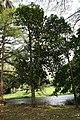 Artocarpus Heterophyllus 02.jpg