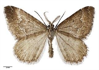 <i>Asaphodes</i> genus of insects