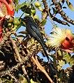 Ashy Drongo Dicrurus leucophaeus by Dr. Raju Kasambe DSCN0163 (7).jpg