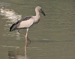Asian Openbill (Anastomus oscitans) in shallow waters in Kolkata W IMG 4443.jpg