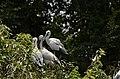 Asian openbill stork (Anastomus oscitans) from Ranganathittu Bird Sanctuary JEG4047.JPG