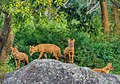 Asiatic Wild Dogs (44187676292).jpg
