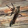 Asilidae Robberfly (44782535161).jpg