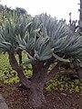 Asparagales - Kumara plicatilis 2.jpg