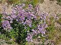 Asterledophyllus.jpg