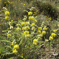 Astragalus alopecuroides.png