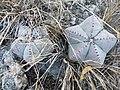 Astrophytum myriostigma (1).jpg