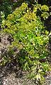 Astydamia latifolia o Lechuga de mar.jpg