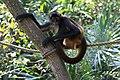 Ateles geoffroyi Belize Zoo 01.JPG