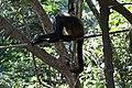 Ateles geoffroyi Belize Zoo 02.JPG