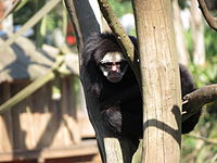 Ateles marginatus (Sao Paulo zoo).jpg