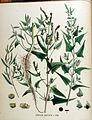 Atriplex hastata — Flora Batava — Volume v18.jpg