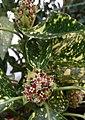 Aucuba japonica. Aukuba. Aucuba. 02.jpg