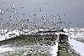 Austernfischer Nationalpark Wattenmeer Hallig Langeneß.jpg