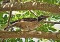 Australasian Figbird. Sphecotheres vieilloti , female (48623718526).jpg