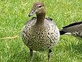 Australian wood duck 03.jpg