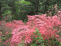 Azaleas on Mount Guifengshan in Macheng City, Huanggang, Hubei 25.jpeg