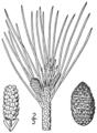 BB-0132 Pinus resinosa.png