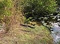 Baby Alligators at Paurotis Pond^ - panoramio.jpg