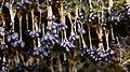 Badhamia utricularis (Bull.) Berk 814832.jpg