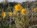 Balsamorhiza sagittata at Saddlerock Wenatchee foothills 2.jpg