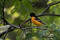 Baltimore oriole yard (26681100634).jpg