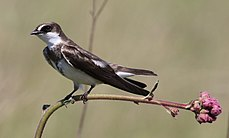 Banded martin, or banded sand martin, Riparia cincta, at Rietvlei Nature Reserve, Gauteng, South Africa (30634577703).jpg