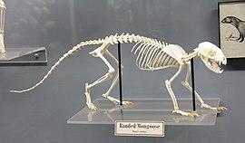 Banded mongoose Skeleton