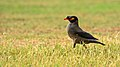 Bank myna at IIT Delhi.jpg