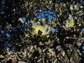 Banksia ilicifolia2 orig.JPG