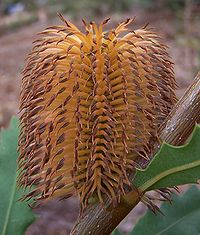 Banksia quercifolia 01 gnangarra cropped