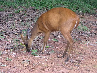Indian muntjac - The male grazing in the Khao Yai National Park