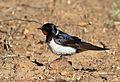 Barn swallow, Hirundo rustica, at Suikerbosrand Nature Reserve, Gauteng, South Africa (22746564234).jpg