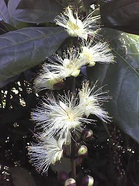 Barringtonia racemosa flowers close.JPG