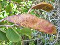 Bauhinia galpinii seeds.jpg