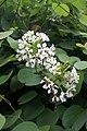 Bauhinia glauca subsp. caterviflora = B. caterviflora (Fabaceae) (33653842400).jpg